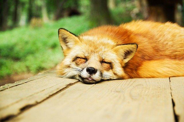 寝ている狐