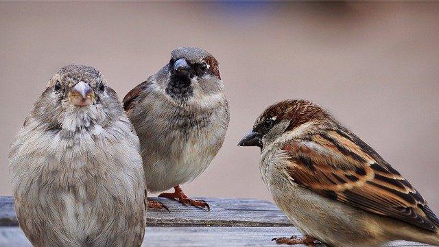 3羽のスズメ