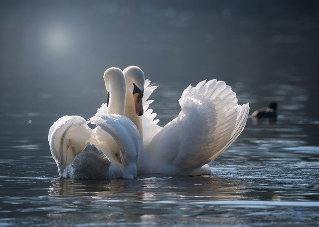 白鳥のペア